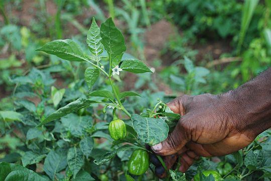 彫刻家のアフォラヨンさんが、赤く熟れるまえのアタ・ロド(トウガラシ)とその花を見せてくれた。2010年7月1日、イフェ、大学敷地内にあるアフオラヨンさんの畑にて